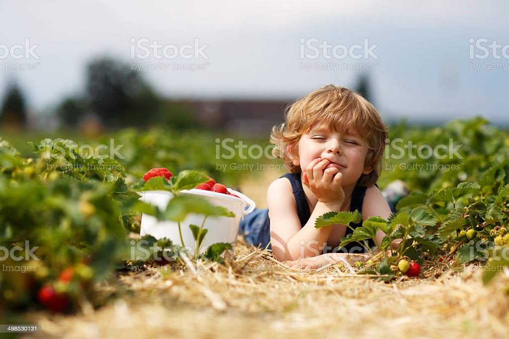 little boy picking and eating strawberries on berry farm stock photo