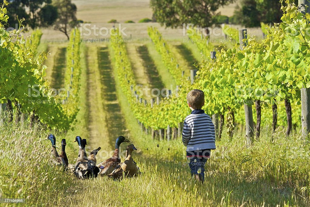 Little boy with ducks in a vineyard royalty-free stock photo