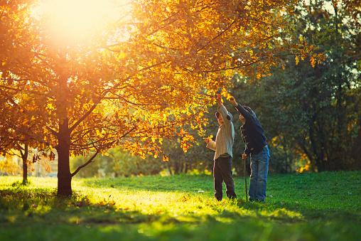 Little boys picking up oak leaves from oak tree in autumn