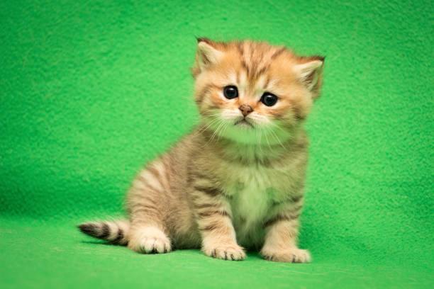 Little British cat Golden tabby color stock photo