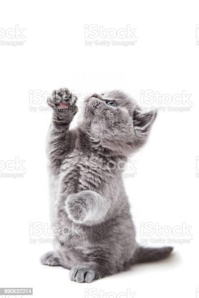 Little british kitten isolated on white background picture id890632014?b=1&k=6&m=890632014&s=612x612&h=evesyjzoaihel62ppaffelrzgajs8pha59olien6kpc=