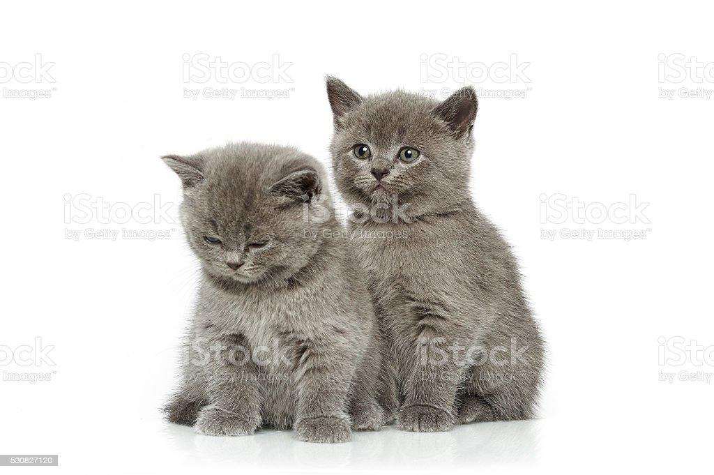 little british short hair blue kittens stock photo