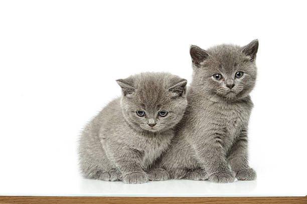 little british short hair blue kittens stock photo
