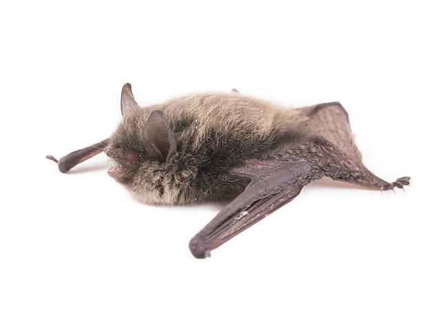 little brown bat (pipistrellus pipistrellus), isoliert auf weiss - wasserfledermaus stock-fotos und bilder