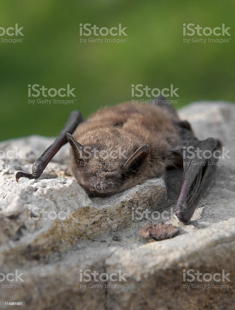 Little Brown Bat (Myotis lucifugus) stock photo