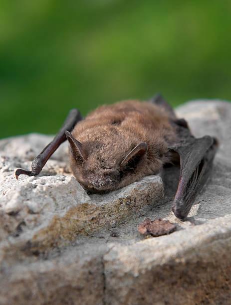 Little Brown Bat (Myotis lucifugus) stock photo