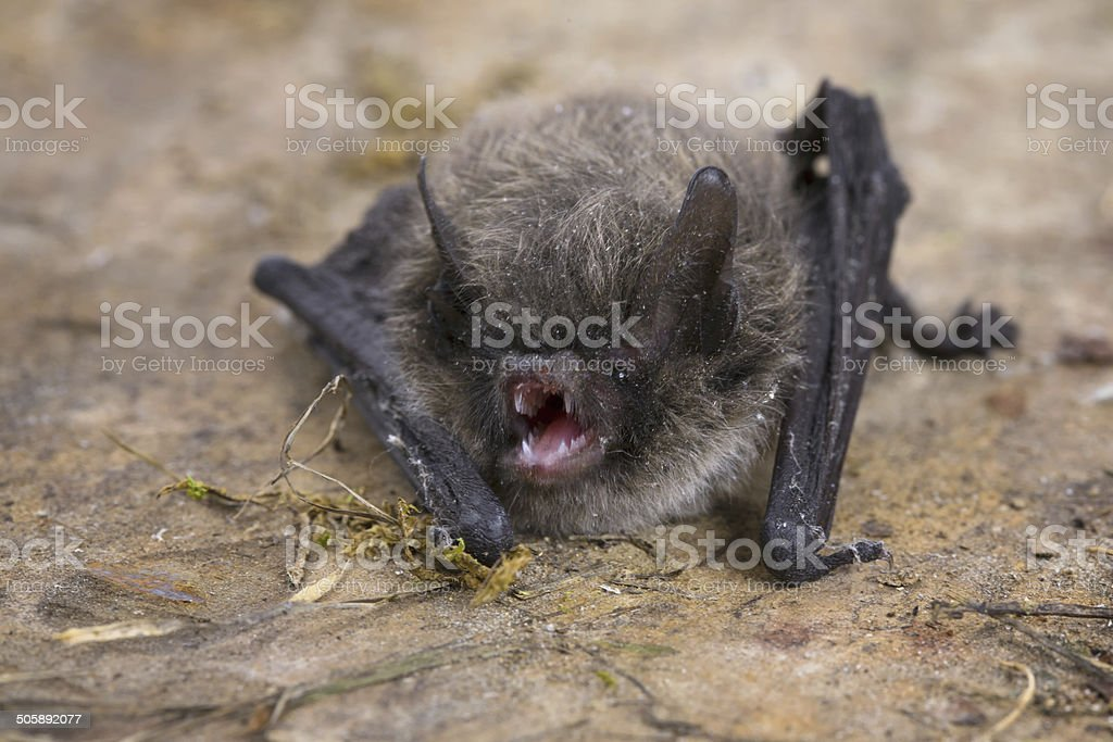 Little Brown Bat (Pipistrellus pipistrellus) stock photo