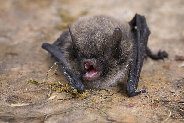 little brown bat (pipistrellus pipistrellus) - wasserfledermaus stock-fotos und bilder