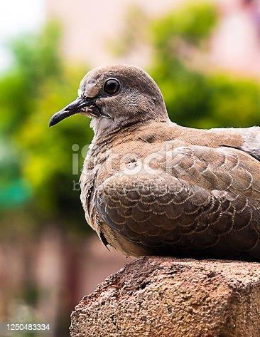 Laughing Dove or Little brown Dove