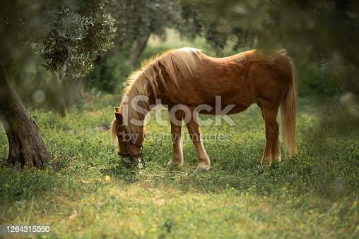 istock little brown pony eats grass in the garden 1264315050