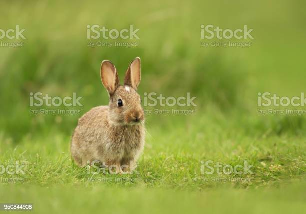 Little bunny sitting in the field of grass uk picture id950844908?b=1&k=6&m=950844908&s=612x612&h=2li2sclruopd5nxtsvdobxrqioevb49w8eq6rdm inw=