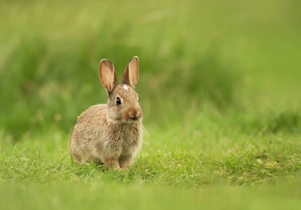 Petit lapin assis dans le champ d'herbe, UK. - Photo
