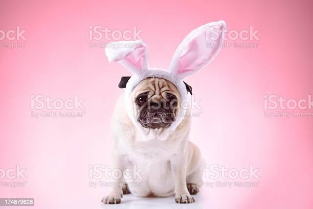 Little bunny styled pug on pink background picture id174879628?b=1&k=6&m=174879628&s=612x612&h=o ekspoyyo8ol9ncconaqilcvelh3 wv nboufatnia=