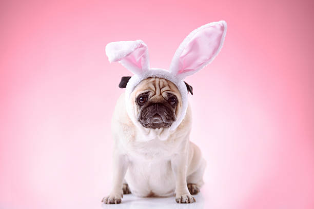 Little bunny styled pug on pink background picture id174879628?b=1&k=6&m=174879628&s=612x612&w=0&h=iehdmntb3j7lgskjycpiirblhm1x9yj5sv6nirdafcy=