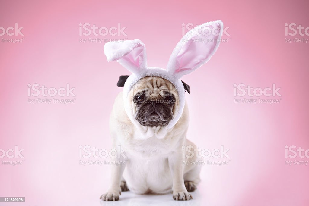 Little bunny styled pug on pink background stock photo
