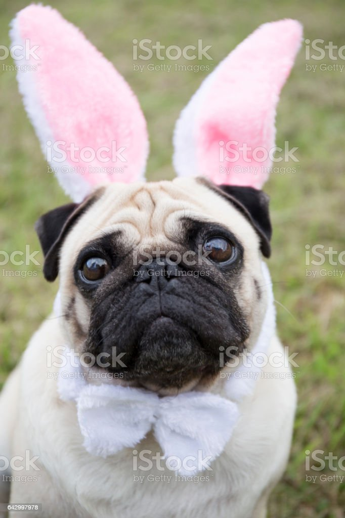Little bunny styled pug stock photo