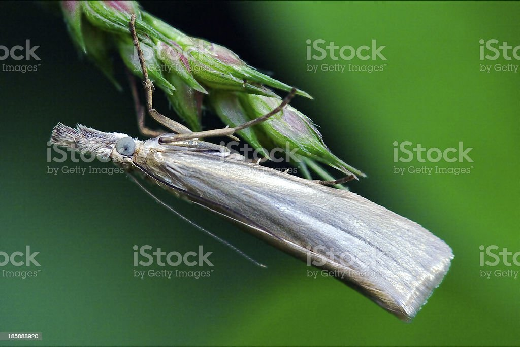 little  butterfly trichoptera on a green stock photo