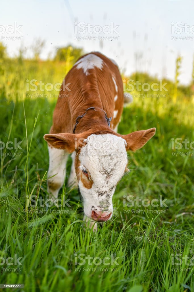 Little calf is grazing on the lawn, springtime royalty-free stock photo