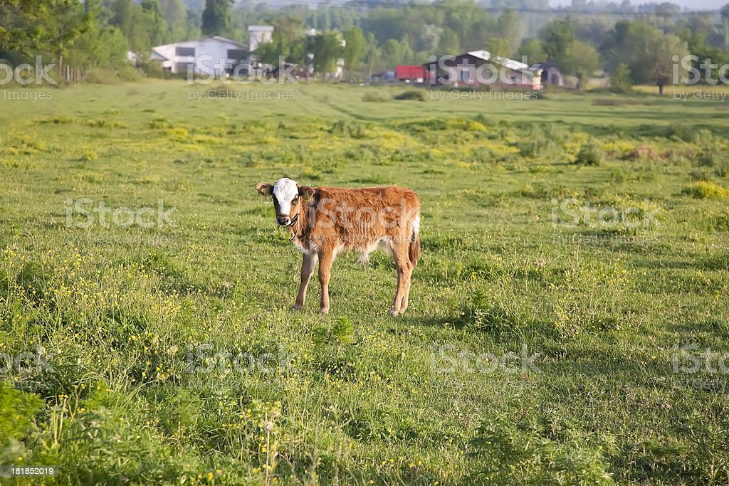 Little calves royalty-free stock photo