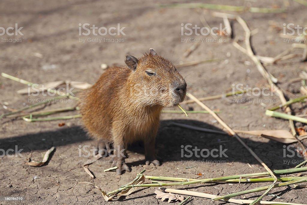 Little capybara stock photo