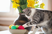 Little six months old tabby cat touching easter eggs in a bowl