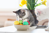Little six months old tabby cat biting into easter eggs in a bowl, her brother is watching