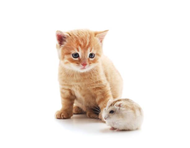 Little cat and hamster picture id1146309733?b=1&k=6&m=1146309733&s=612x612&w=0&h=76cjyl9adknvgnjj7snr61fimdp57vmva9kh2rbtv5c=