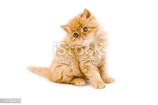 persian cat - 2 months