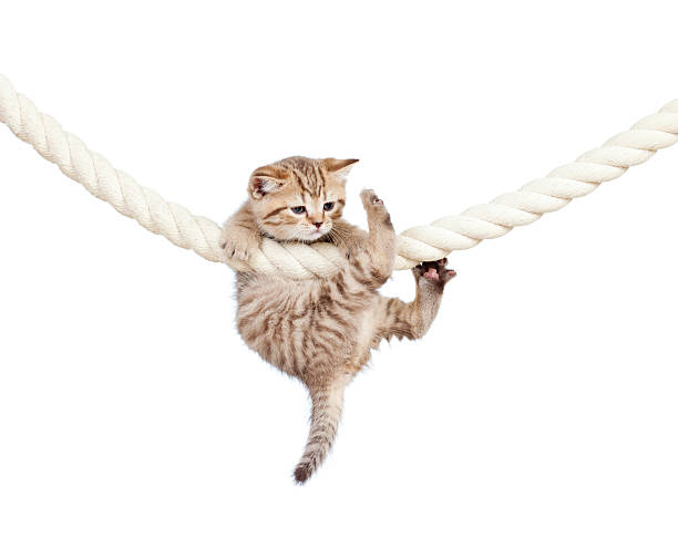 little cat clutching at rope on white background stock photo