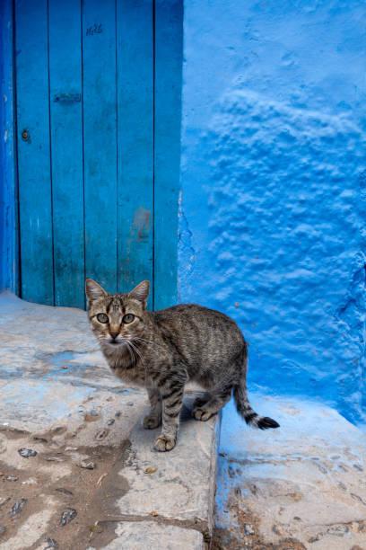 シャウエン、モロッコの街の小さな猫 ストックフォト