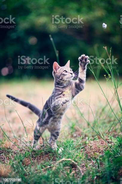 Little cat playing in the garden picture id1067703196?b=1&k=6&m=1067703196&s=612x612&h=uyybfomh4ao1ueoallz8ybeegb0irkoxl8giywywkca=