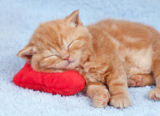 Little cat sleeping on the red heartshaped pillow picture id178400618?b=1&k=6&m=178400618&s=612x612&w=0&h=iuhcslqzo8aqhcc7dvtv0jbxtd lkvsxp32bdzaesb0=