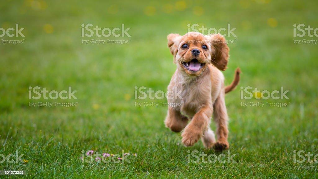 외부 실행 하는 작은 cavalier 킹 찰스 발 바리 강아지 스톡 사진