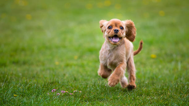 little cavalier king charles spaniel puppy running outside - happy dogs stock photos and pictures