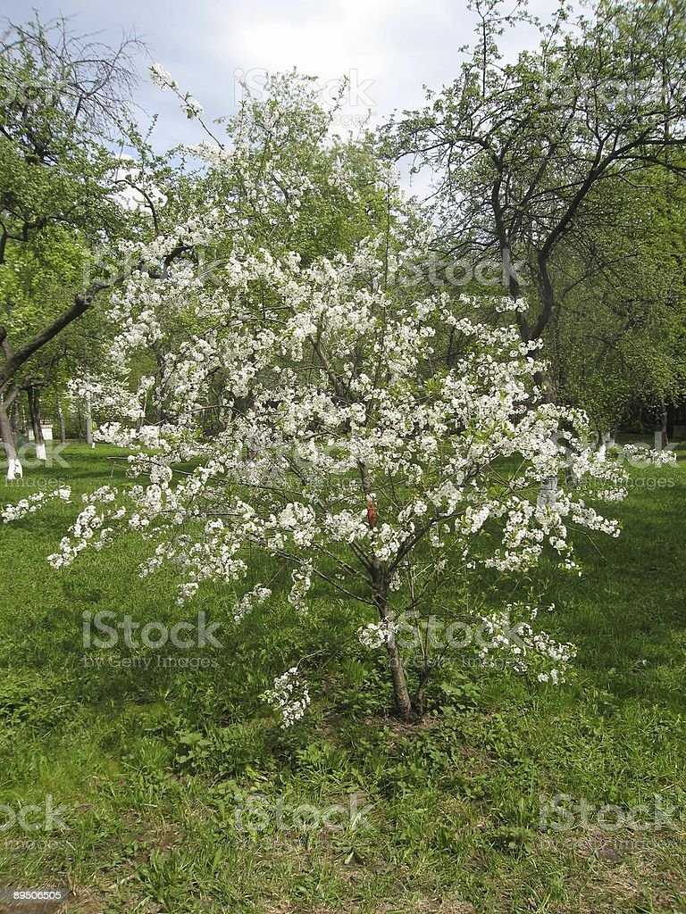 Little cherry tree in blossom. royalty-free stock photo
