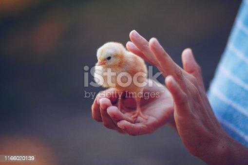 istock Little chick bird in hands 1166020139