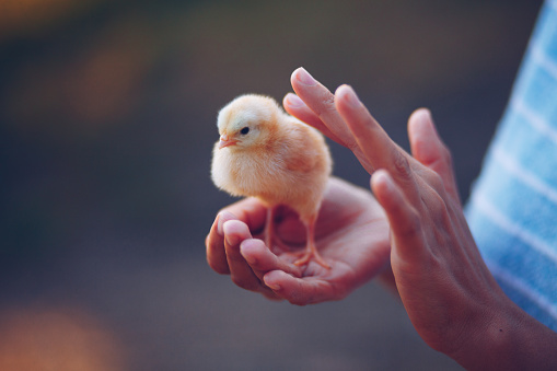 istock Little chick bird in hands 1166020139