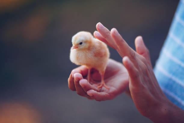 pequeño pájaro pollito en las manos - lifestyle color background fotografías e imágenes de stock