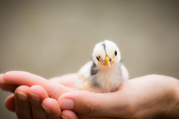Little chick bird in hands picture id906044174?b=1&k=6&m=906044174&s=612x612&w=0&h=ftkceec mz9 xqszibol lwqvt7i4 t4al1wwo1lwfu=