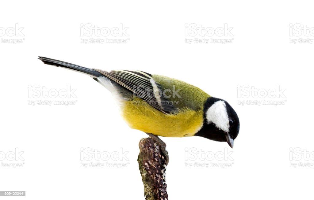 chickadee vogeltje zit op een tak in een Park op een afgelegen witte achtergrond foto