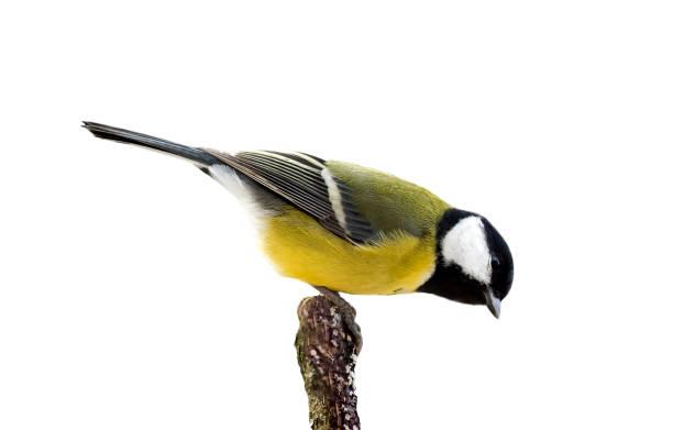 chickadee vogeltje zit op een tak in een park op een afgelegen witte achtergrond - neerstrijken stockfoto's en -beelden