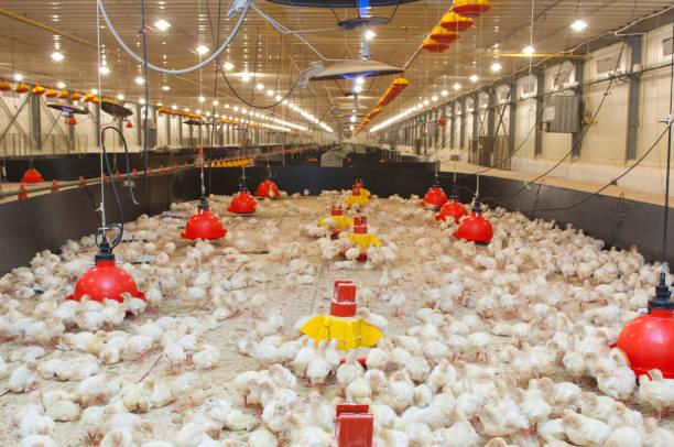 kleine kippen voeding op de boerderij - chicken bird in box stockfoto's en -beelden