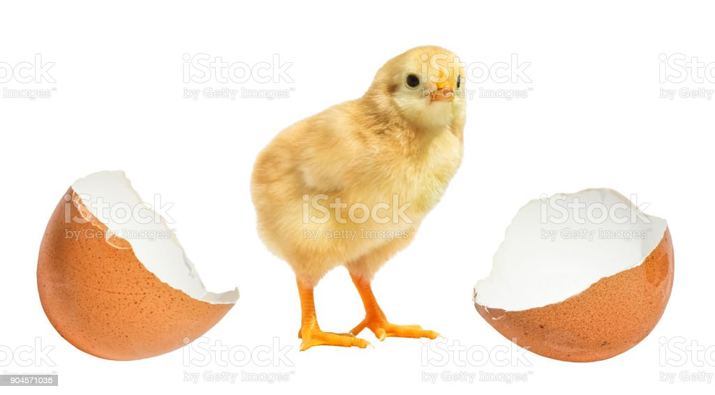 little chicken hatched from an egg isolated stock photo
