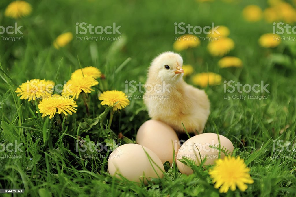 Little chicken on the grass royalty-free stock photo