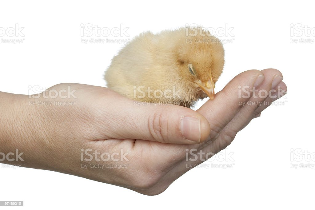 Little chicken on the hand royalty-free stock photo