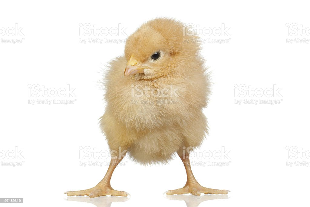 Little chicken royalty-free stock photo