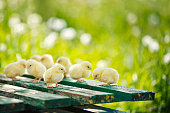 Little chickens and eggs on the wooden table. Green bsckground. Copy space