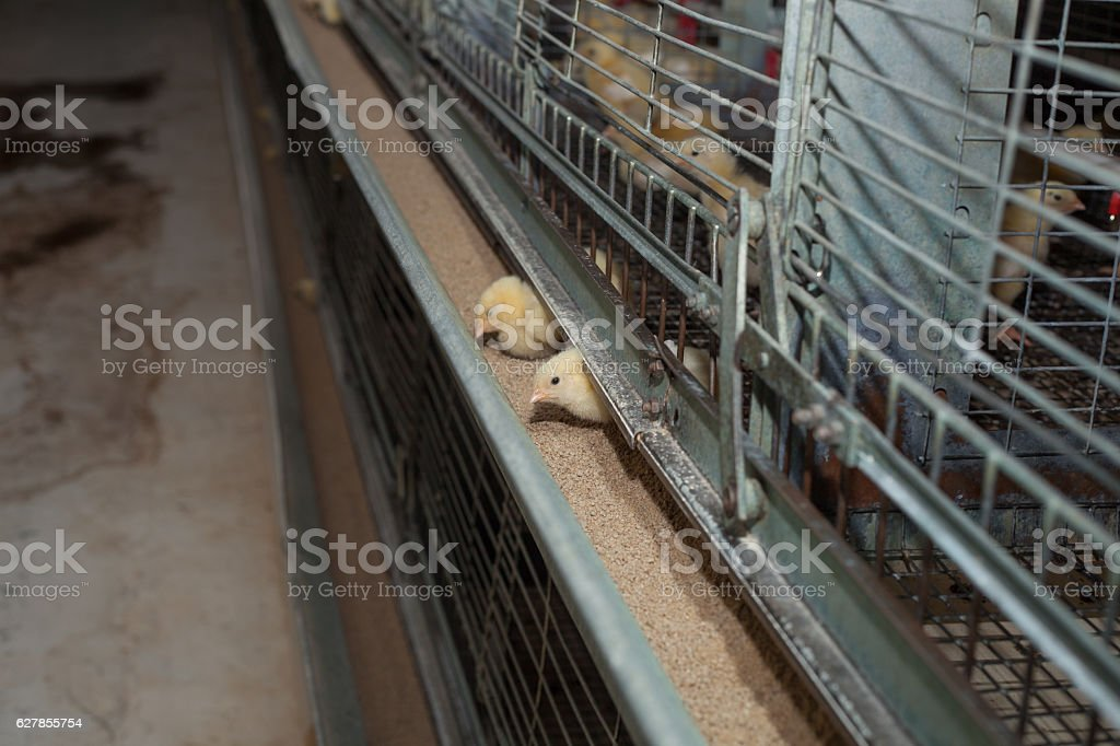little chickens on agricultural farm stock photo