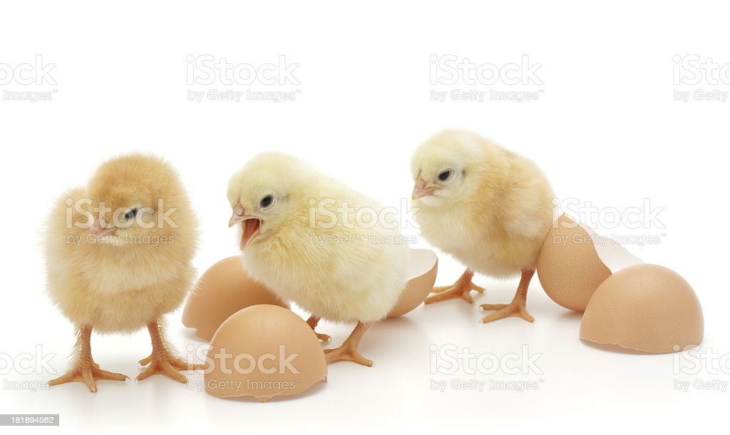 Little chickens royalty-free stock photo