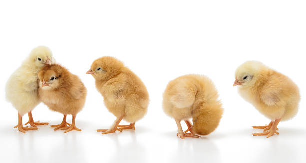 Little chickens stock photo